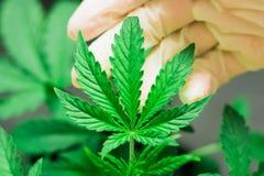De hand van een medische professioneel en mooi blad van cannabis macroschot Royalty-vrije Stock Fotografie