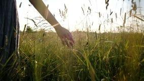 De hand van een vrouw besteedt door droog hoog gras in de zomer op een gebied bij zonsondergang, langzame motie stock video