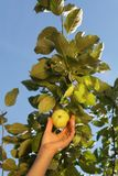 De hand van een witte vrouw plukt een groene appel van een tak met royalty-vrije stock foto's