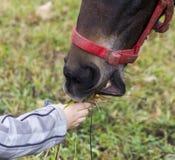 De hand van het kind geeft gras aan de snuit van hors stock afbeeldingen