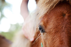 De hand van het meisje op miniatuurpaardmerrieveulen Stock Fotografie