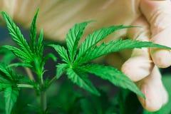 De hand van medische arbeider en de cannabis planten macroschot Royalty-vrije Stock Foto