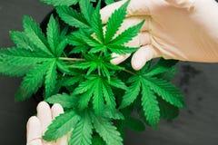 De hand van medische arbeider en installatie en de bladeren van cannabismacro schoten Concepten recreatief gebruik van marihuana Stock Fotografie