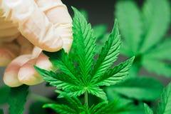 De hand van medische arbeider en installatie en de bladeren van cannabismacro schoten Concepten recreatief gebruik van marihuana Royalty-vrije Stock Foto