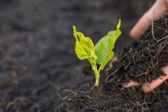 De hand van de tuinman plant jonge bomen met grond royalty-vrije stock afbeelding