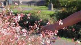 De hand van de vrouw borstelt bovenkanten van mooie roze wildflowers in de zomer stock videobeelden