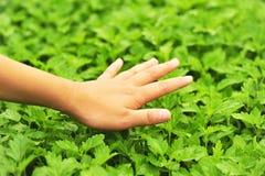 De hand voelt motherwort kruid Stock Foto's