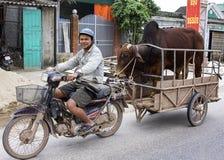 De handelaar op motorfiets brengt zijn stier aan de koe voor procreatio Royalty-vrije Stock Afbeelding