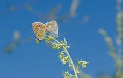 De handeling van de koppeling in familie van Gemeenschappelijke Blauwe vlinder royalty-vrije stock foto's