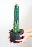 De handen die van de vrouw een pot van cactus houden Stock Afbeelding