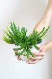 De handen die van de vrouw een pot van cactus houden Stock Foto