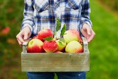 De handen die van de vrouw krat met rode appelen houden Stock Afbeeldingen