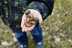 De handen die van het kind verscheidene eikels in het park houden stock foto's