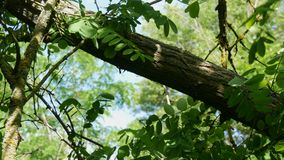 De handen die van mensenhouthakker onderaan een het leven boomboomstam hakken in hout groene kettingzaag stock video