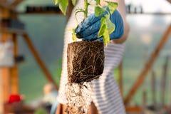 De handen die van de vrouw tomatenzaailing in serre houden Organisch het tuinieren en de groeiconcept stock foto's