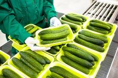 De handen houden groene komkommers Stock Foto