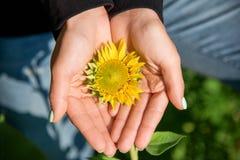 De handen houden zacht een kleine zonnebloem op het de zomergebied stock afbeelding