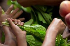 De handen plukken groene groenten Royalty-vrije Stock Foto's