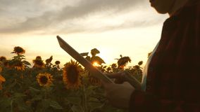 De handen van bedrijfsvrouw zijn gedrukt op het scherm van tablet op gebied van zonnebloem in stralen van zonsondergang Sluit omh stock footage