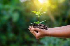 In de handen van bomen die zaailingen kweken Boom Bokeh de groene van de Achtergrond Vrouwelijke handholding bij het het gras Bos royalty-vrije stock foto