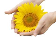 De handen van de mens met zonnebloem Stock Fotografie
