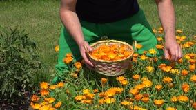 De handen van de tuinmankerel verzamelen de bloembloei van het goudsbloemkruid aan rieten mand 4K stock video