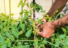De handen van een mens binden de struiken van tomaten stock fotografie