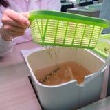 De handen van een technicus neemt een groene mand met jonge spruiten van een container water op hydroponics De methode om te groe stock fotografie