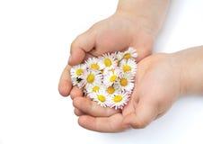 De handen van het kind met Daisy stock afbeelding