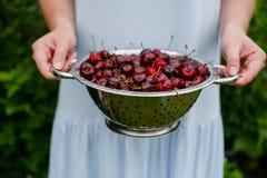 In de handen van het meisje een groot vergiet van verse kersen Een nieuwe oogst van kersen met water daalt Foto in de tuin Stock Foto