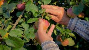 De handen van de Oude Landbouwer Collected The Tree Rijp Apple sluiten omhoog stock videobeelden