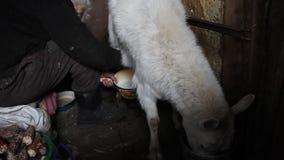 De handen van de oude vrouw het melken een geit gezond en natuurlijk dieet in dorp stock video
