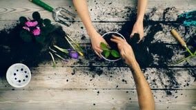 De handen van twee volwassenen sluiten omhoog, plantend bloemen in een pot Concept het tuinieren stock videobeelden