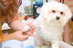 Verzorgende Maltese hond Royalty-vrije Stock Afbeeldingen