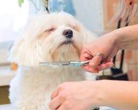 Verzorgende Maltese hond Stock Afbeeldingen