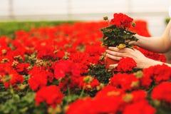De handen van vrouwen houden mooie rode geraniumbloemen in de tuin royalty-vrije stock afbeeldingen