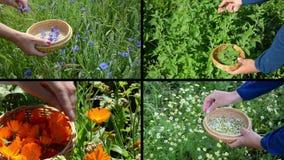 De handen verzamelen de installaties van het de goudsbloemkruid van de korenbloemmunt Klemmencollage stock footage
