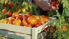 De handenarbeider zette een tomaat in een doos Oogstend op het gebied, biologische producten stock videobeelden