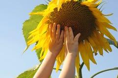 de handenbereik van kinderen voor de zonnebloem gelijkend op een zon agains Royalty-vrije Stock Fotografie