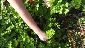 De handenvrouw verzamelt groene verse peterselie stock video