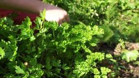 De handenvrouw verzamelt groene verse peterselie stock videobeelden