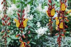 De hangende bloemen van thunbergiamysorensis Royalty-vrije Stock Afbeelding