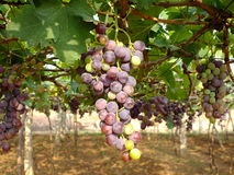 De hangende druif bundelt wijngaard Royalty-vrije Stock Afbeeldingen