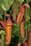 De hangende installaties van de Waterkruik (Nepenthaceae) Royalty-vrije Stock Foto's