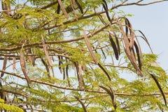 De hangende Peulen van het Zaad Royalty-vrije Stock Foto
