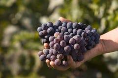 De harde werkende druiven van de handholding Stock Foto