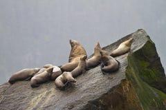 De Harem van de zeeleeuw stock afbeeldingen