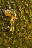 De hars van de boom Stock Afbeeldingen