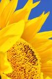 De harten van de zonnebloem Royalty-vrije Stock Foto's