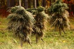 De haver is droog op een traditionele manier in noordelijk Zweden royalty-vrije stock afbeelding
